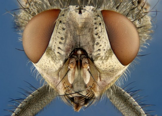 9 Muscoid fly house fly 550x396 Top 10 Microscopic Images