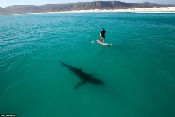 4. Great White Shark Paddling