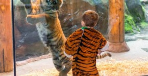 8C9623579-today-tiger-costume-zoo-131107-4.blocks_desktop_medium