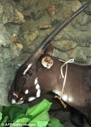 World S Rarest Animal Spotted For The First Time In 15