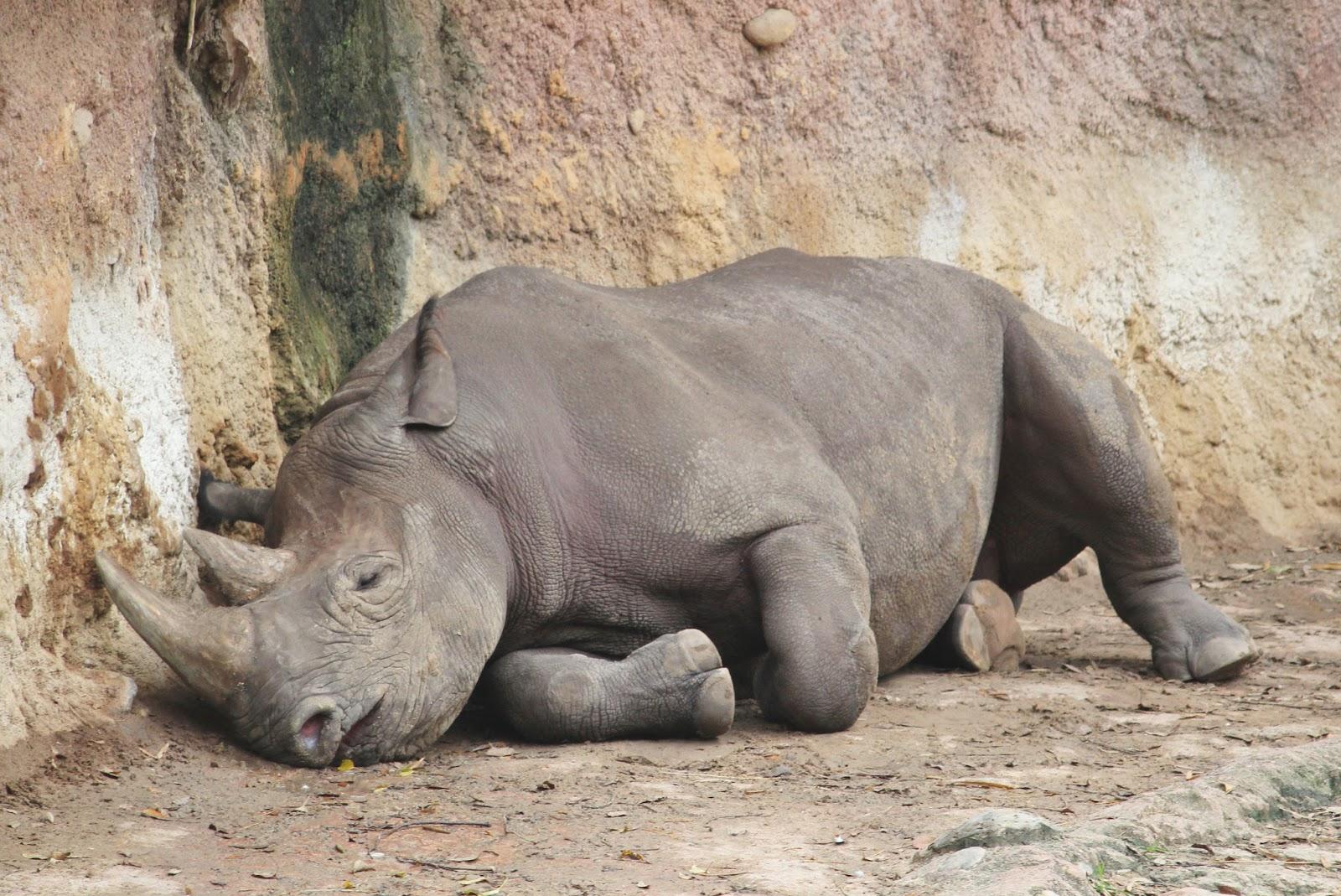 Animal Kingdom Rhino