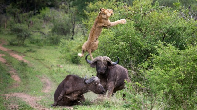 flying-lion-buffalo-launches-predator-into-the-air-640x360