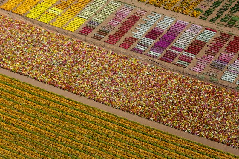 FLOWER-FIELDS-LOMPOC-CALIFORNIA-USA-2013-1-C34299
