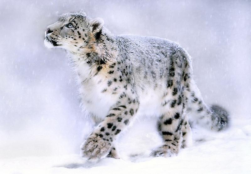 10. Snow Leopard