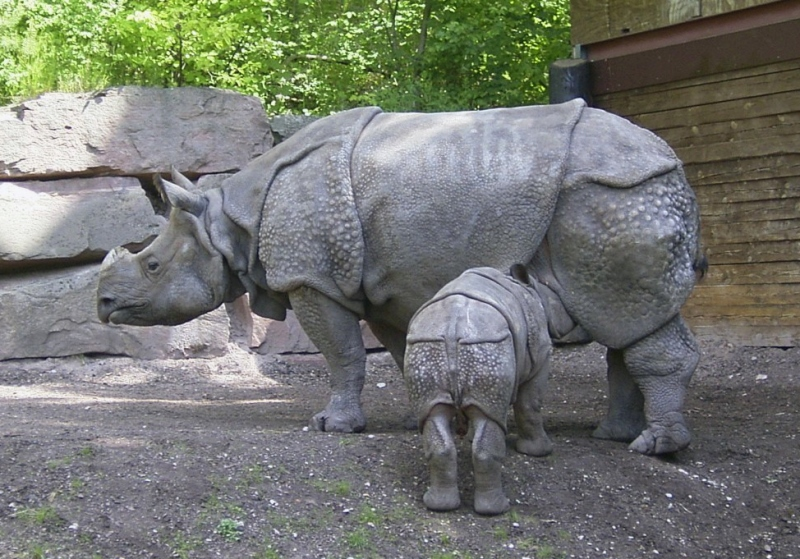 2. Javanese Rhinoceros