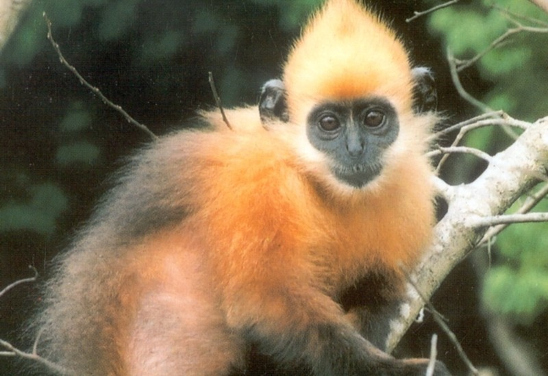 3. Golden-Headed Langur