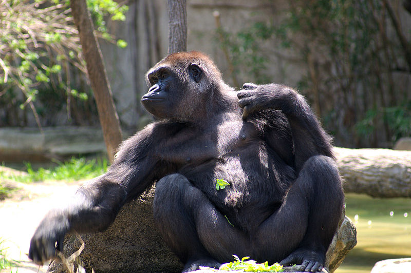 5. Cross River Gorilla