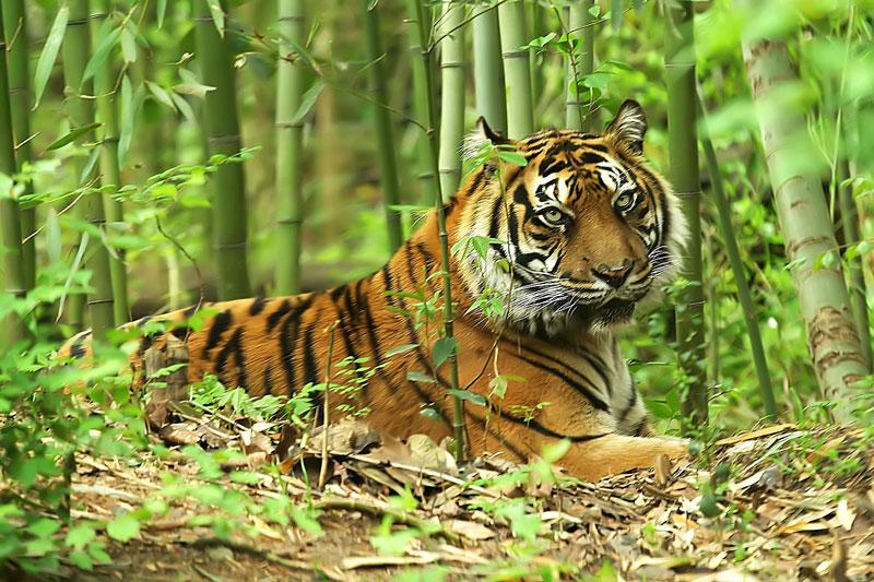 6. Sumatran Tiger