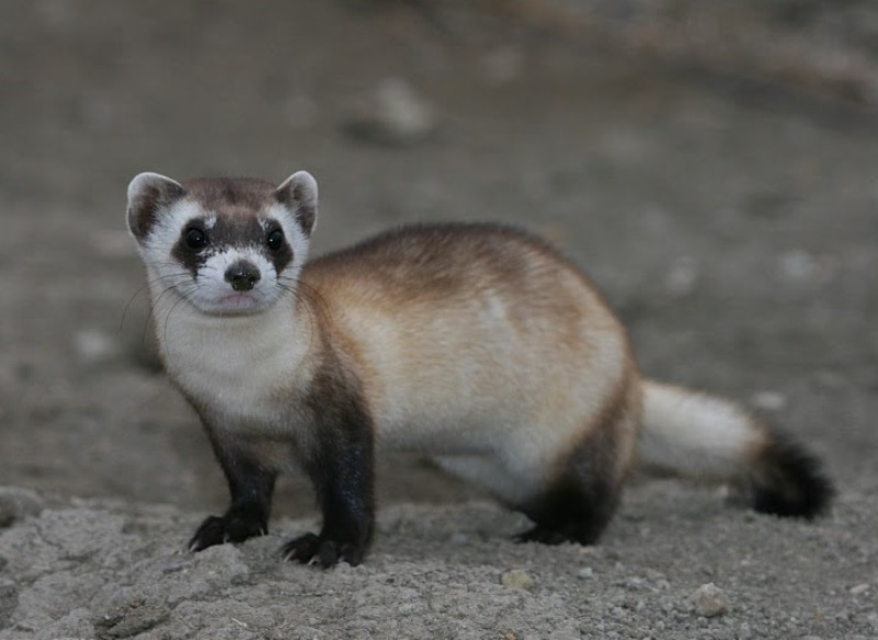 7. Black-Footed Ferret