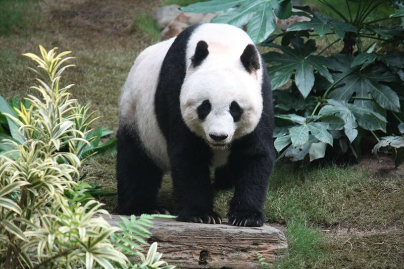9. Giant Panda