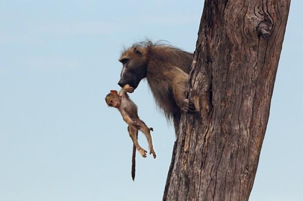 Baboon-Baby_DPP07DD011B151305--600x399