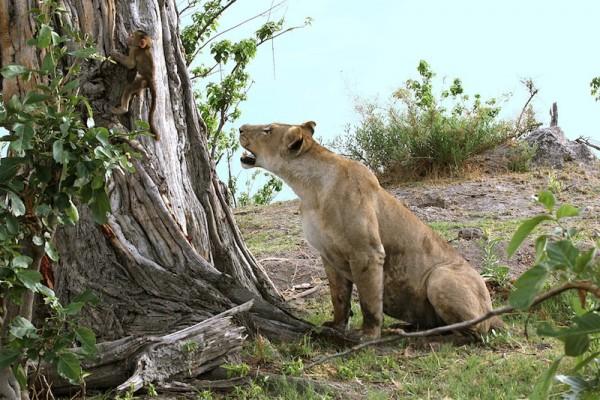 Lion-Baboon_DPP07DC0B1B0E0154--600x400