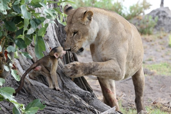 Lion-and-baboon_AH3C9995--600x399