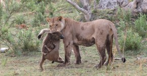 Lion-with-baboon_AH3C9953-1-600x399