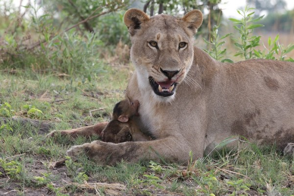 Lioness-Baboon_AH3C0012--600x399