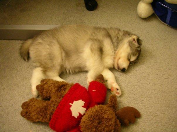tally-husky-dog-raised-by-cats-19
