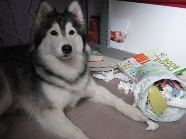 tally-husky-dog-raised-by-cats-27