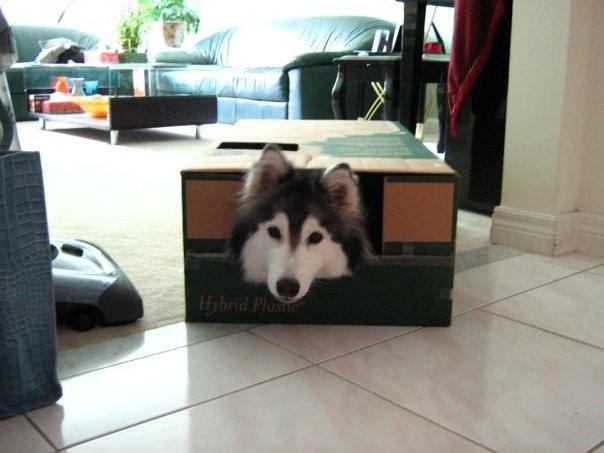 tally-husky-dog-raised-by-cats-6