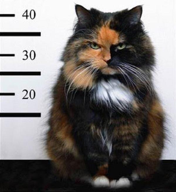 criminal-cat