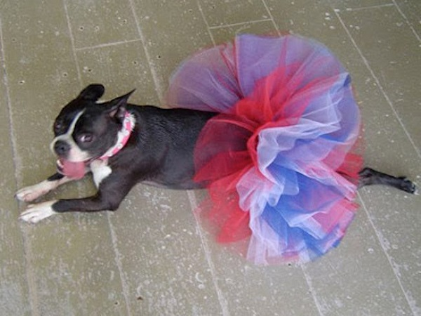 zsa zsa the boston terrier dog