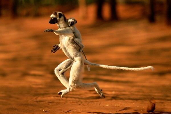 Verreaux's Sifaka (Propithecus verreauxi) carrying baby Berenty, Madagascar