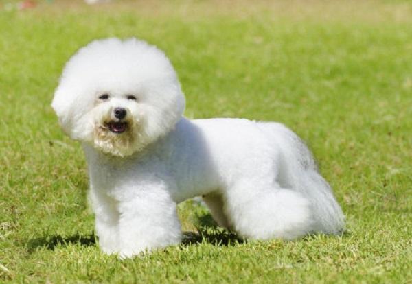 Miniature_Poodle