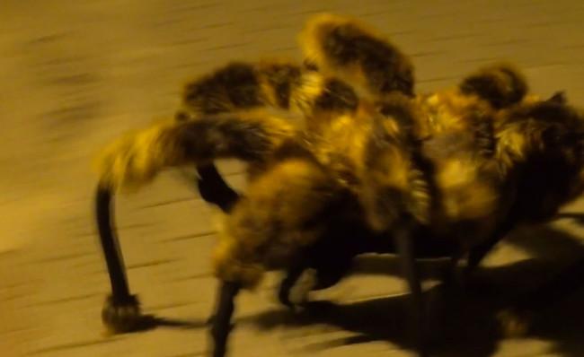 giant-spider-dog-1-650x398