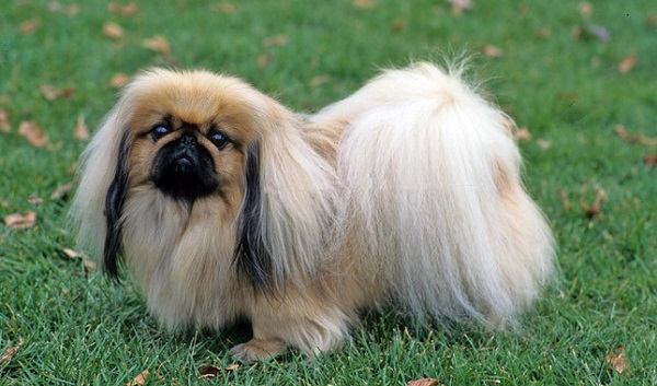 10 Small Dog Breeds That Are Perfect For Indoor Pets