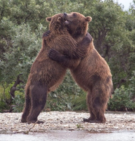 bears huggging