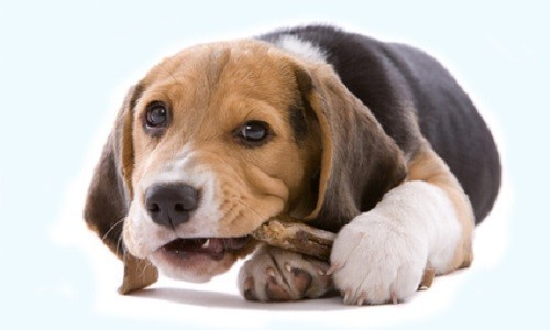 Adorable young beagle pup chewing on it's bone