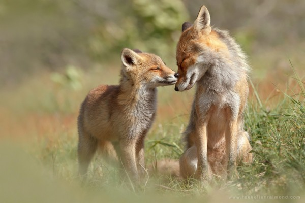 fox hugging