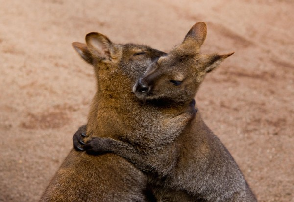 kangaroo hugging