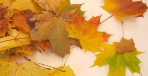 maple leaf rose 1