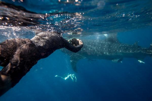 whale shark 7