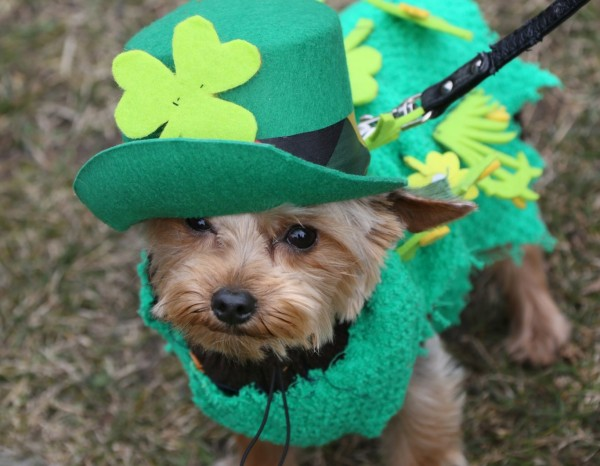 st patricks day dog 5