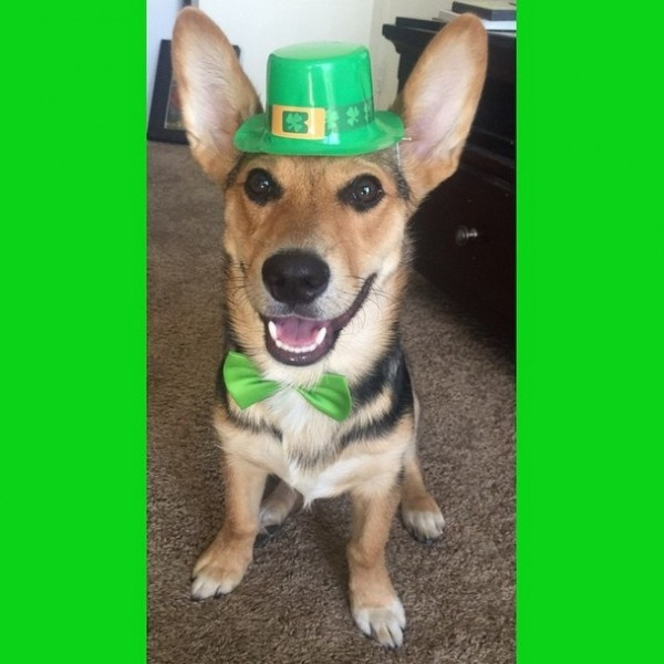 st patricks day dog 9