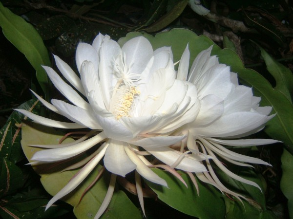 kadapul flower