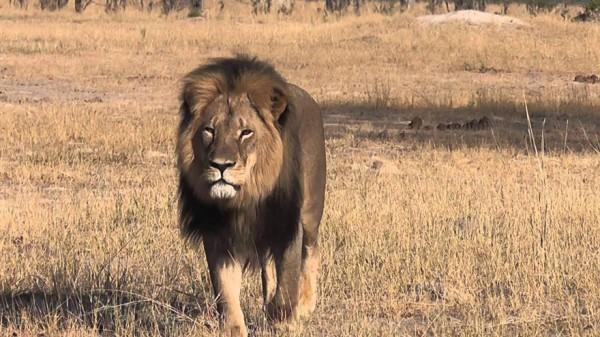 cecil the lion 4