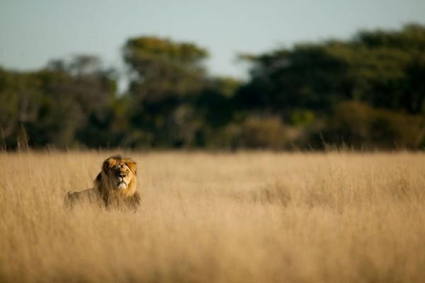 cecil the lion 9