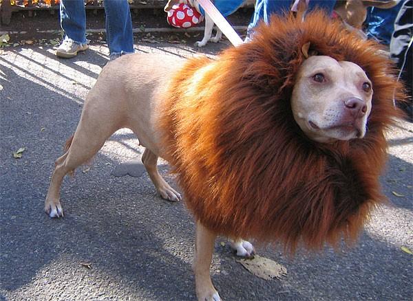 diy pet costumes 1