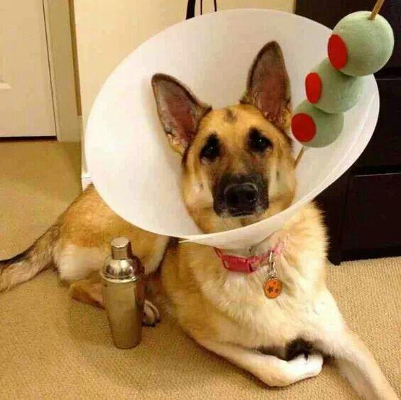 diy pet costumes 4