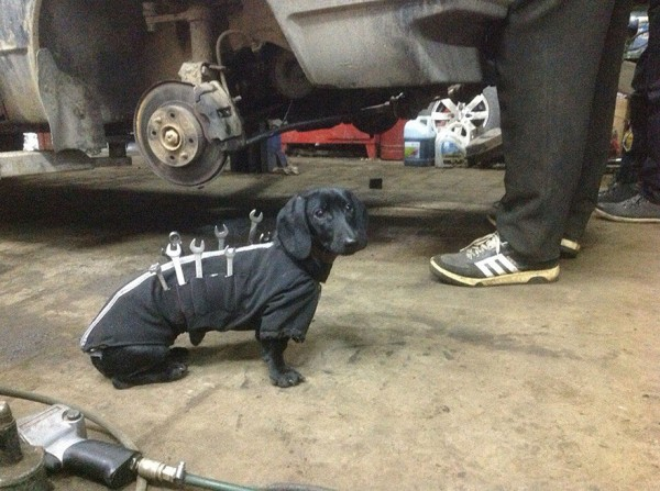 repair shop dachshund 4