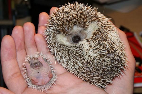 hedgehog 8