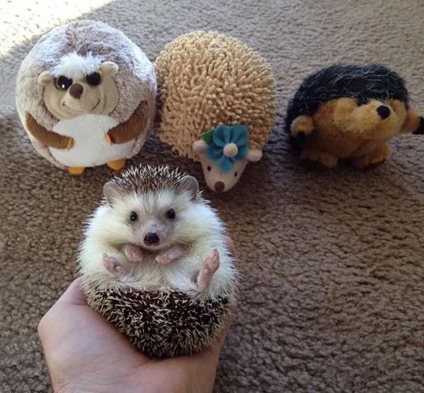 hedgehog 9