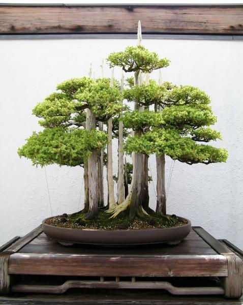 bonsai trees 10