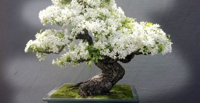 bonsai trees 2