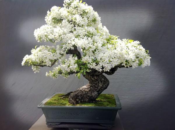 bonsai trees 2