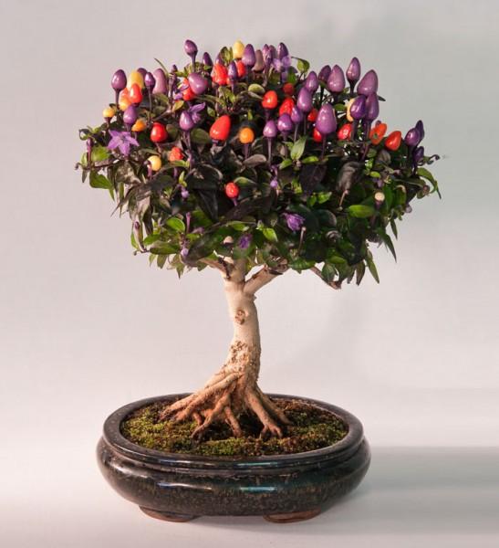 bonsai trees 3