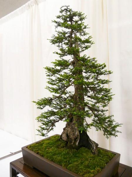 bonsai trees 6
