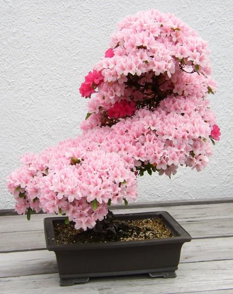 bonsai trees 7